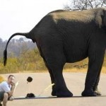 Elephant taking a crap