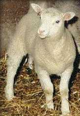 dolly the sheep cloning  a